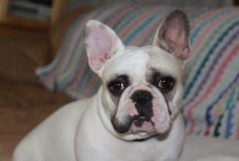 French Bulldog puppies Now!