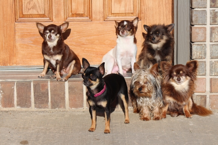 Chihuahuas- See our puppies! | Tidwell