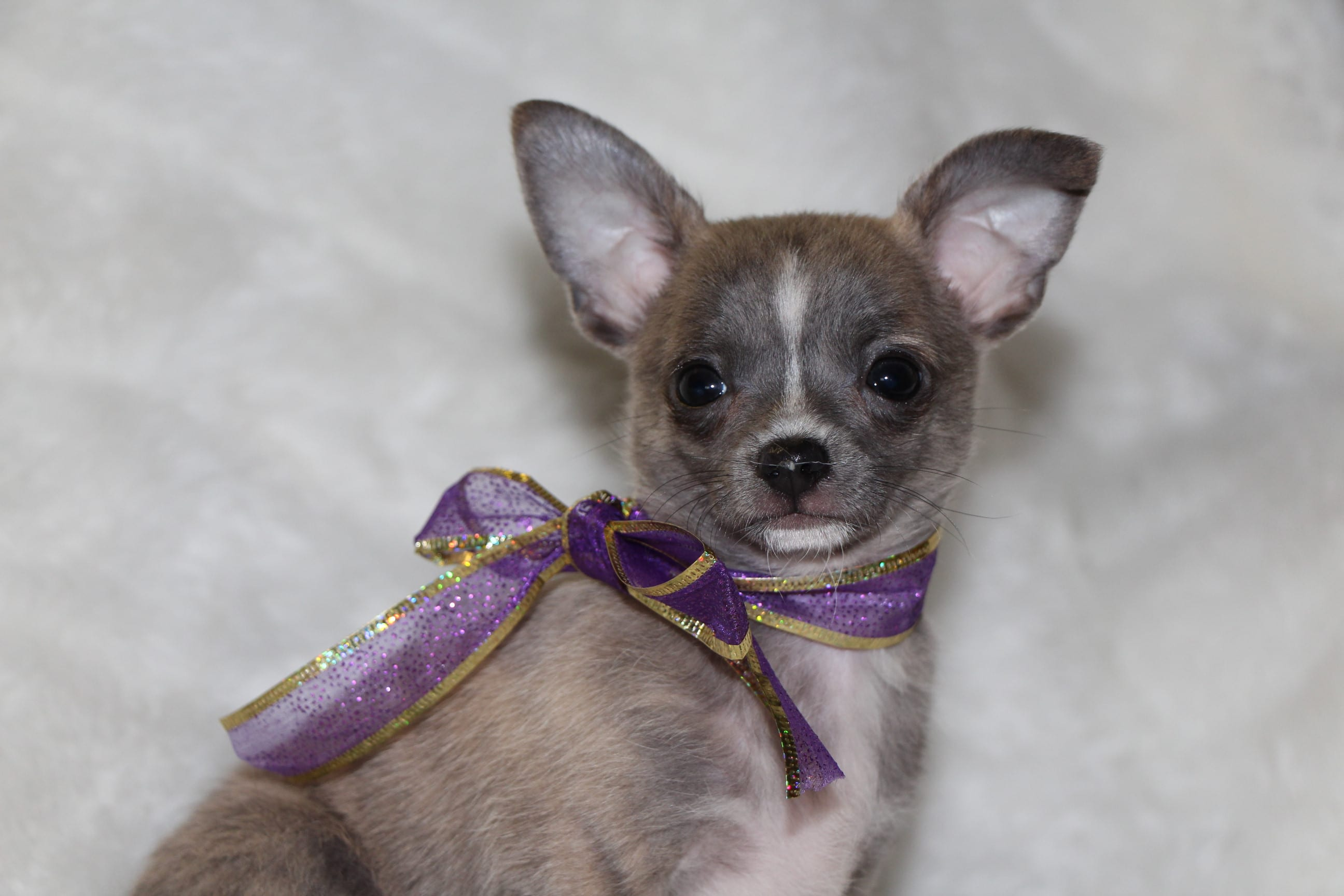 Chihuahuas- See our puppies!   Tidwell