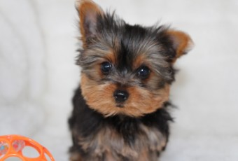 ~Yorkie or Chihuahua : Quality/personality/small!